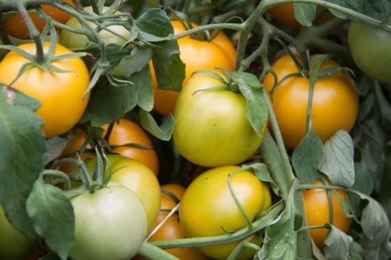 Prolific Writer - Tomatoes