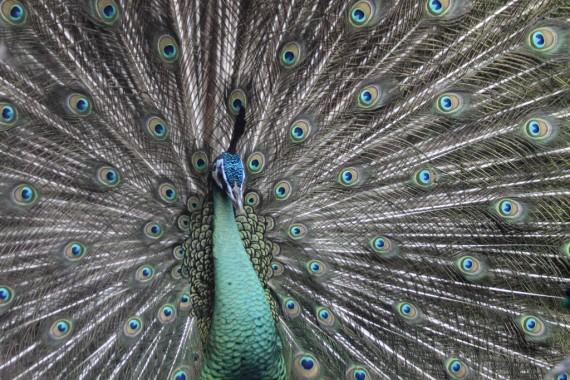An Outstanding Peacock